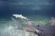 newborn lemon shark pup, Negaprion brevirostris, swims away from mother after birth, with umbilicus, placenta, and chorionic membrane still attached; sharksuckers, Echeneis naucrates, cling to mother, Bahamas ( Western Atlantic Ocean )