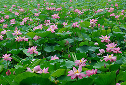 June 28, 2017 - Beijin, Beijin, China - Beijing, CHINA-June 26 2015: (EDITORIAL USE ONLY. CHINA OUT)..Blooming lotus flowers can be seen at Yuyuantan Park in Beijing. (Credit Image: © SIPA Asia via ZUMA Wire)