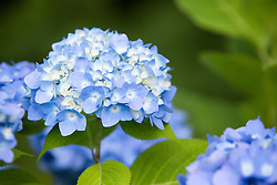 blue hydrangea flowers in bloom during the Summer
