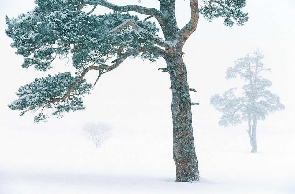 Pine tree in snowstorm, Bakuriani, The Country of Georgia