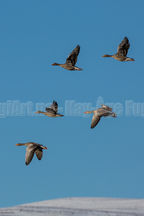 Escaping Graygoose flying in formation | Grågås i flukt, flyr i formasjon