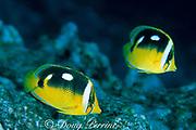 fourspot butterflyfish,<br /> Chaetodon quadrimaculatus,<br /> South Kona, Hawaii, USA ( Pacific )