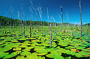 Yellow pond-lily, variegated pond-lily or bullhead pond-lily (Nuphar variegata)<br />
