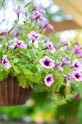 Hanging Purple Flowers In A Basket