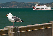 The San Francisco Bay has its share of tour boats and seagulls.