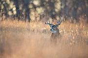 Colorado whitetail buck during the autumn rut