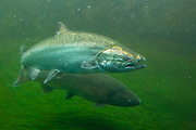 Two chinook salmon (Oncorhynchus tshawytscha) swim through the fish ladder at the Ballard Locks in Seattle, Washington. Commonly called king salmon because they are the largest of the Pacific salmon, they are found along the coast from Alaska to California.