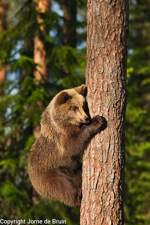 An Eurasian Brown Bear Cub has climbed into a tree to flee an adult male in a forest in Finland.