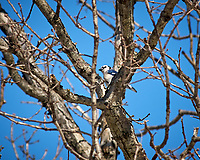Blue Jay. Image taken with a Nikon D2xs camera and 80-400 mm VR lens (ISO 100, 400 mm, f/7.6, 1/250 sec).
