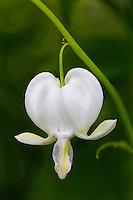 Dicentra spectabilis 'Alba' (White Bleeding Heart)