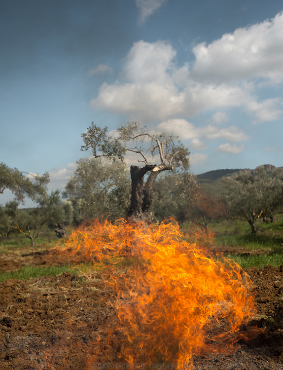 Burning olive branches after trimming olive trees so it produces more olives in summer and therefore more olive oil, the basis of the Mediterranean diet. Visiting the olive grove of Areti and Fanouris Alexopoulou, a farmer couple in Mires Village.