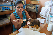 Hoffmann's Two-toed Sloth <br /> Choloepus hoffmanni<br /> Caretaker bottle-feeding orphaned baby in nursery<br /> Aviarios Sloth Sanctuary, Costa Rica<br /> *Rescued and in rehabilitation program