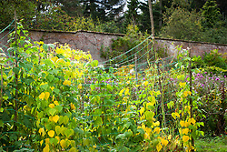 Beans growing in the walled kitchem garden at Glemham House