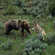 Grizzly Bear, (Ursus horribilis) Adult bear and Gray Wolf, (Canis lupis) confrontation.  Captive Animal.