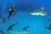 Dr. Erich Ritter shoots video to document shark behavior at Shark Rodeo, Walker's Cay, Abaco Islands, Bahamas ( Western Atlantic Ocean )