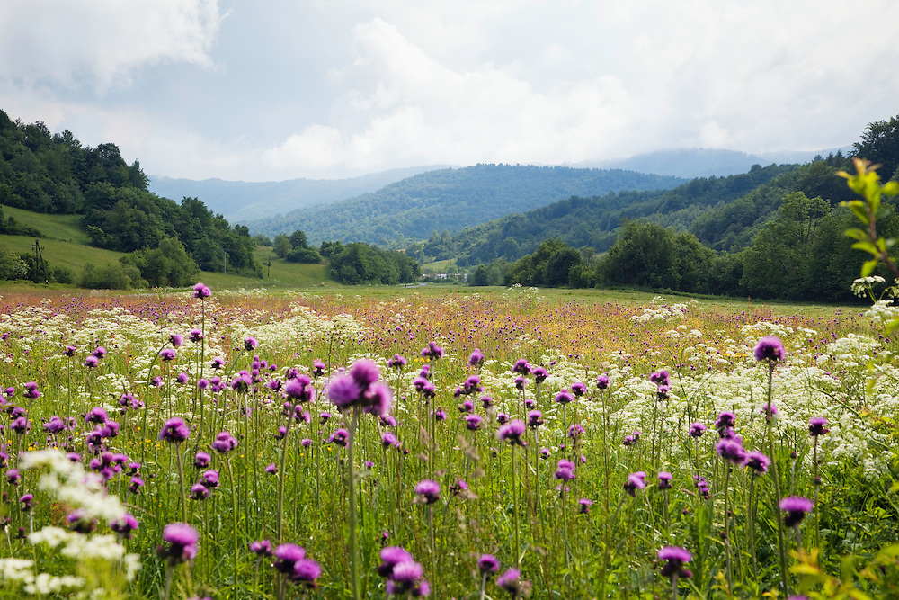 Flowering meadow with thistles, Cirsium rivularis, Poloniny National park, Western Carpathians, Eastern Slovakia, Europe