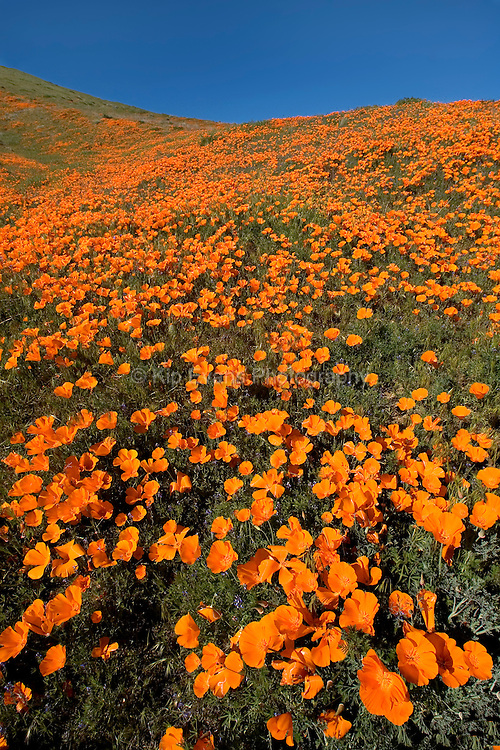 Field of California poppies located in the Antelope Valley California Poppy Reserve