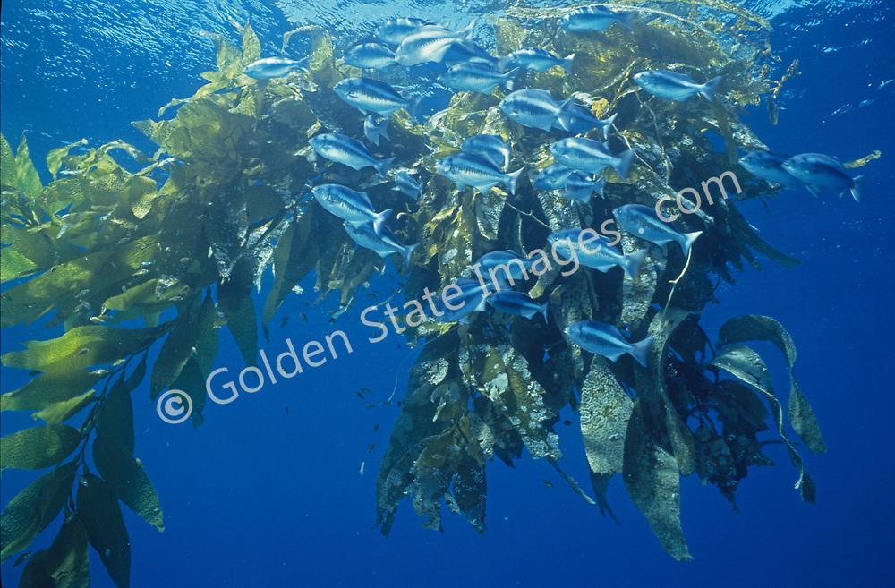 Range: Vancouver Island to the Gulf of California    <br /> <br /> Species: Medialuna californiensis