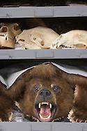 Skulls and bear rug at Tulane Univeristy's Natural History Museum.