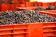 Gamay grapes just in from the harvest at the Georges Duboeuf winery in Romaneche-Thorins, Beaujolais, Bourgogne