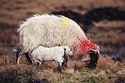 Longhaired sheep nursing near Ballynahinch, West Ireland (Connemara).