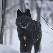 Female gray wolf standing in the snow. Captive Animal