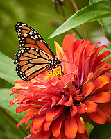 Monarch Butterfly on a Zinnia Flower. Image taken with a Nikon 1 V3 camera and 70-300 mm lens