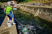 France, Pyrénées-Atlantiques (64), Pays Basque, élévage de truite de Banka // France, Pyrénées-Atlantiques (64), Basque Country, Banka trout farming