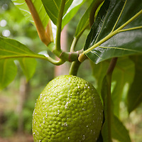 Huahine, French Polynesia, Breadfruit