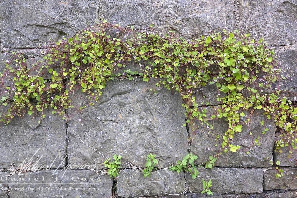 Flowering plants along the rock walls in Galway, Ireland.