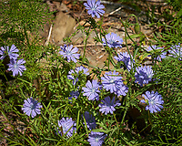 Chicory. Image taken with a Leica TL-2 camera and 55-135 mm lens