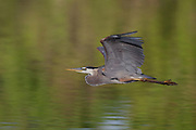 Stock photo of a great blue heron flying in Colorado.