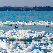 Wood Duck On Grand Traverse Bay In Elk Rapids On A Warm Winter Afternoon