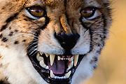 Close-up portrait of a cheetah (Acinonyx jubatus), Okavango Delta, Botswana, Africa