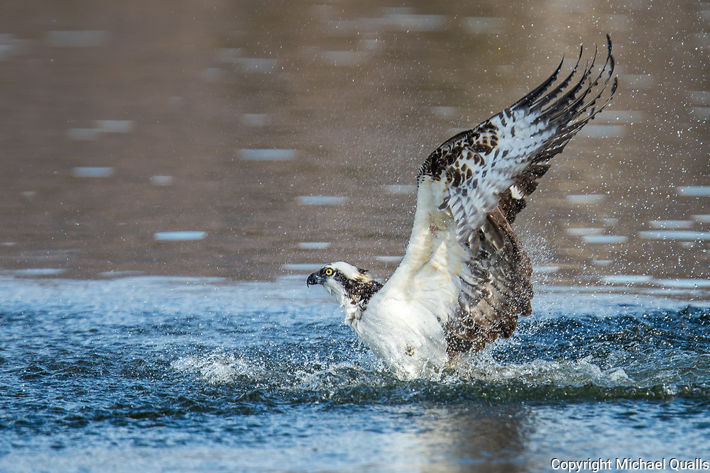 Osprey (Pandion haliaetus) Fishing-Sequence #1