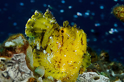 Taenianotus triacanthus, Gelber Schaukelfisch, yellow leaf fish, Tulamben, Bali, Indonesien, Indopazifik, Indonesia, Asien, Indo-Pacific Ocean, Asia