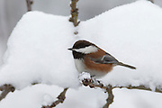 A chestnut-backed chickadee (Poecile rufescens) is dwarfed by the snow that accumulated on a branch during a winter snow storm. The black-capped chickadee can lower its body temperature to survive cold winter nights.