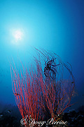 crinoid perched on red whip coral, or gorgonian octocoral, Palau ( Belau ), Micronesia, Western Caroline Islands<br /> ( Western Pacific Ocean )