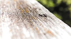THEMENBILD - Ameisen auf einem Holzuntergrund, aufgenommen am 21. Mai 2019, Defreggental, Österreich // Ants on a wooden substrate on 2019/05/21, Defreggental, Austria. EXPA Pictures © 2019, PhotoCredit: EXPA/ Stefanie Oberhauser