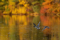 Male and female Mallard (Anas platyrhynchos) in flight over Walden Pond in the fall.