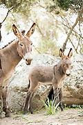 Adult and young donkey (Equus asinus) portrait, Santa Reparata di Balagna, Corsica, France
