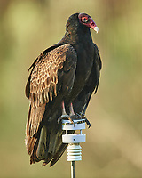 Turkey Vulture (Cathartes aura). Image taken with a Nikon D5 camera and 600 mm f/4 VR lens.