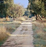Olive trees near Ostuni, Puglia, Italy