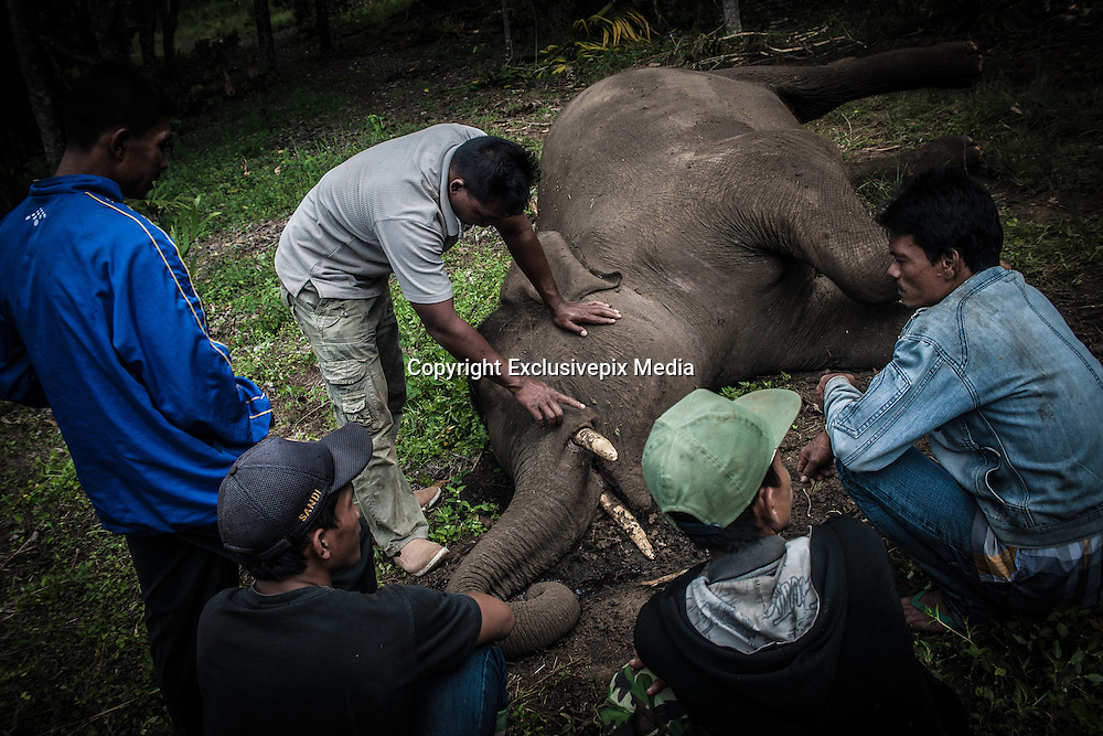 Feb. 19, 2016 - Aceh, Indonesia -<br /> <br /> The residents seen on a witness the carcass of a wild Sumatran elephant who was found dead in the Karang Ampar village, Ketol district, Middle of Aceh, Aceh province, Indonesia on February 19, 2016. From the resident information, Sumatran elephant was killed on suspect by poison after the protracted conflict between humans and wildlife. <br /> ©Exclusivepix Media