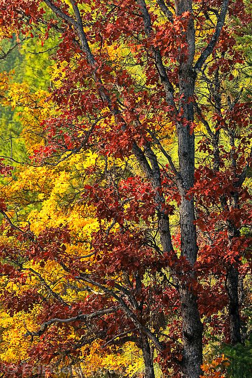 Autumn Garry Oaks (Quercus garryana) in Klickitat County WA