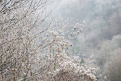 Fluffy seedheads of Old Man's Beard (Travellers Joy) and catkins on a frosty winter's morning. Clematis vitalba