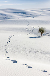 Footprints past soaptree Yucca (Yucca elata)Sand dunes at White Sands National Monument, New Mexico, USA.
