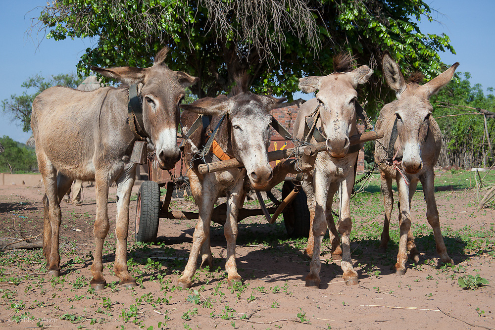Mules harnessed to cart in the Venda Village of Hamakuya. Venda village in Limpopo Province, South Africa.