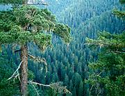 Douglas-fir and Boulder Creek Canyon, Boulder Creek Wilderness, Umpqua National Forest, Oregon