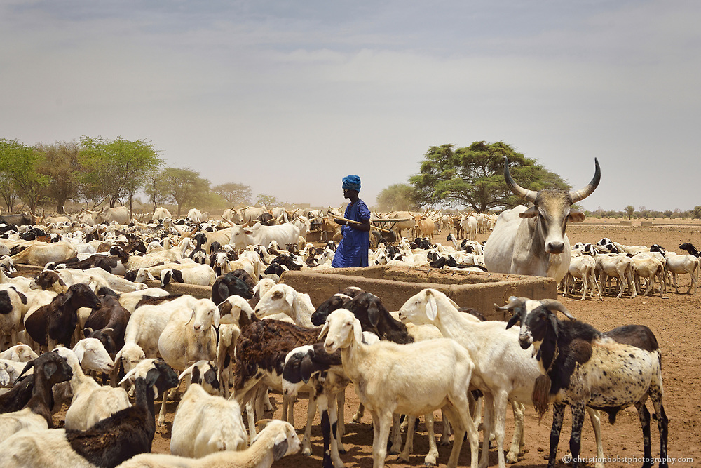 A cow hearder finds himself surrounded by sheeps at a well in Thiargny in the ferlo desert of Senegal. The sheeps are everywhere in Senegal, from the crowded city of Dakar at the coast to the vast desert of the dry Sahel zone in the north of the country.